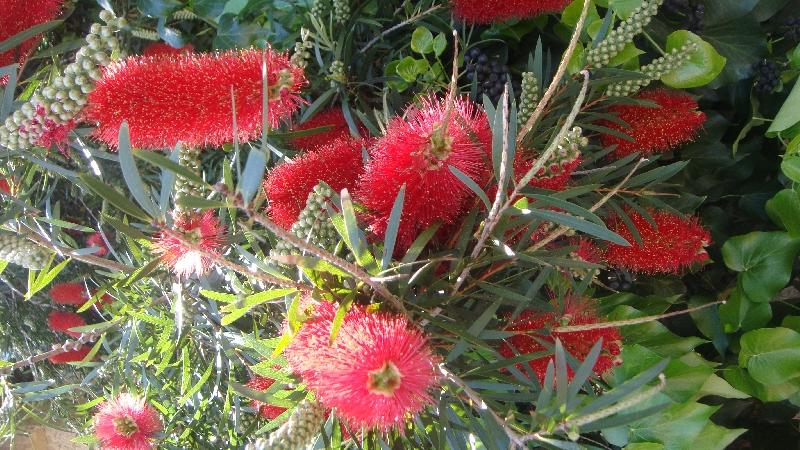 Parrot flowers, Australia