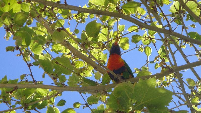 Parrot in the tree!!, Perth Australia