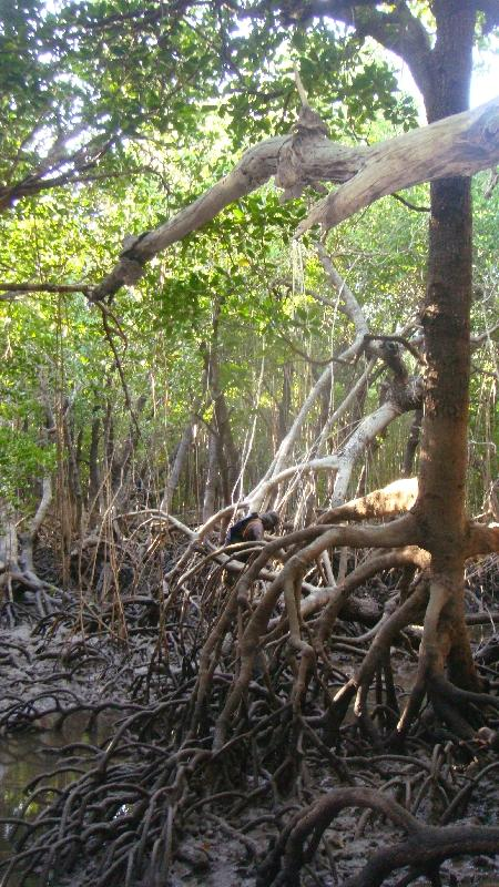 In the mangroves Cape Leveque