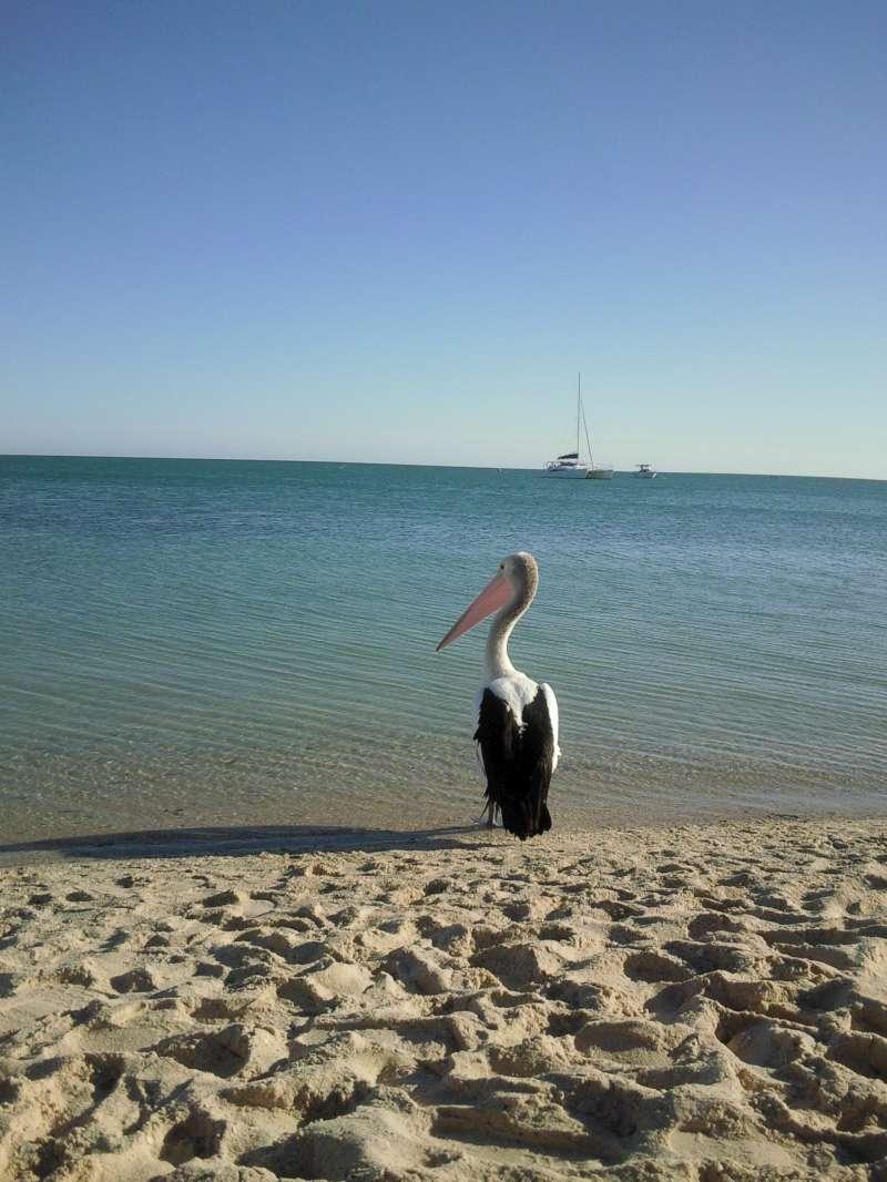 Pelican, Monkey Mia Australia