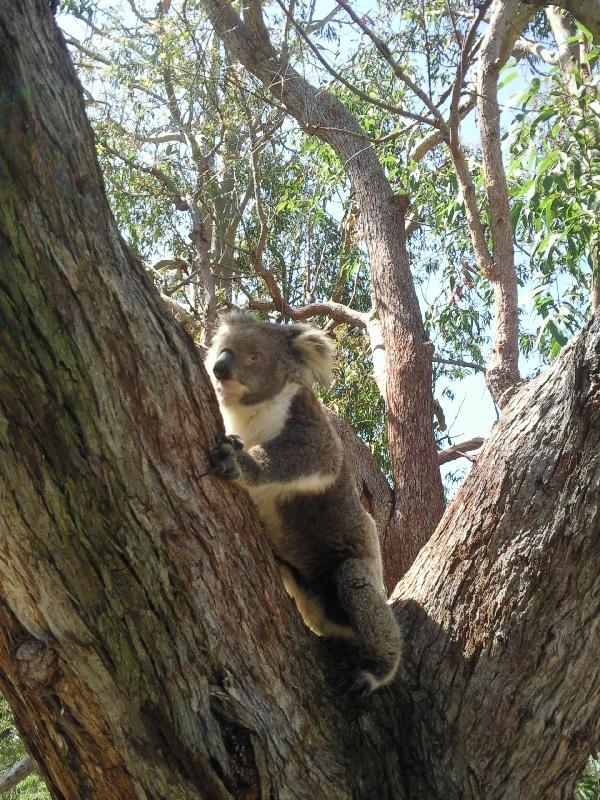 Koala, Yanchep Australia