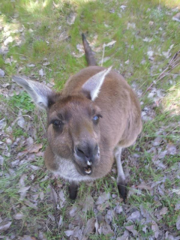 Feeding the roo's, Dunsborough Australia
