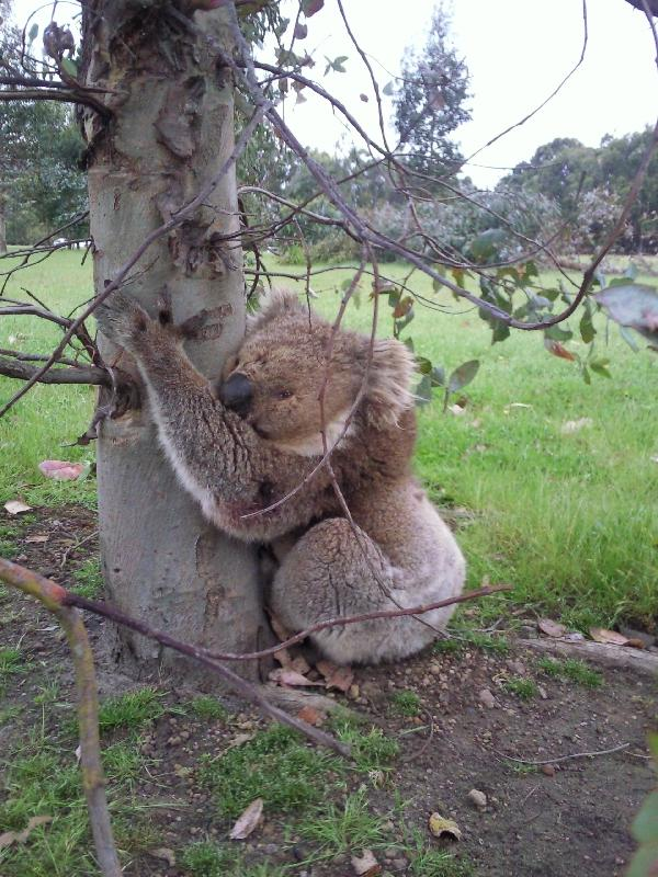 Sleepy Koala, Kangaroo Island Australia