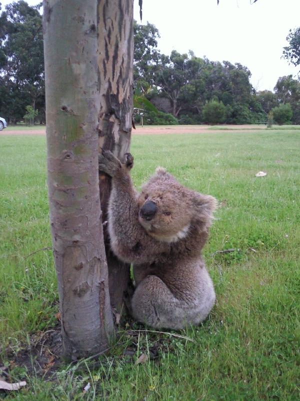 Koala Photo shoot, Australia