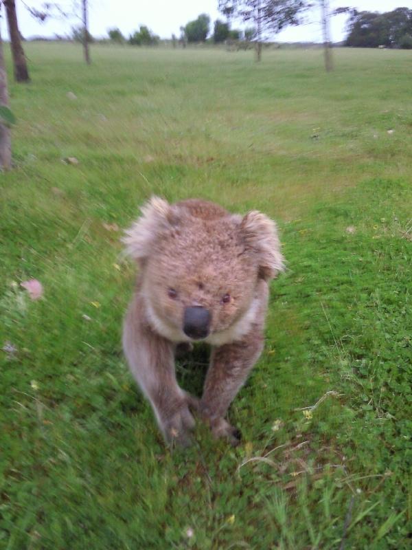 Koala moment.., Kangaroo Island Australia
