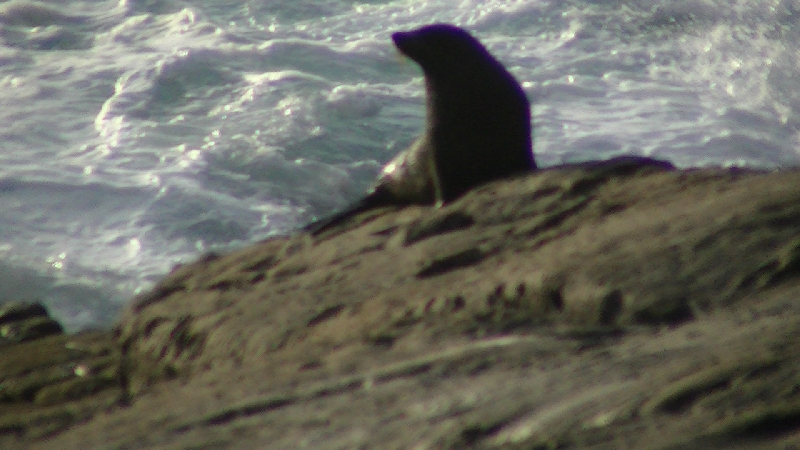 NZ Fur Seals, Australia