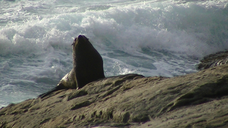 New Zealand fur seal, Kangaroo Island Australia