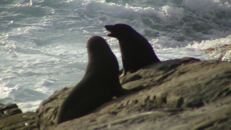 Seal love, Australia