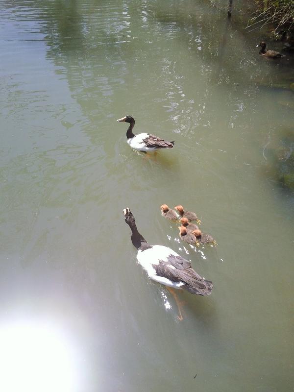 Chicks!, Cleland Hills Australia
