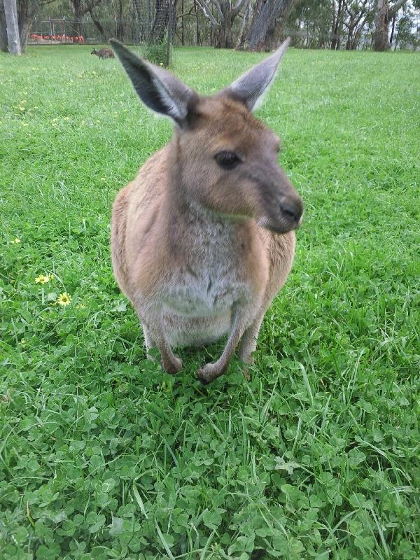Kangaroo , Cleland Hills Australia