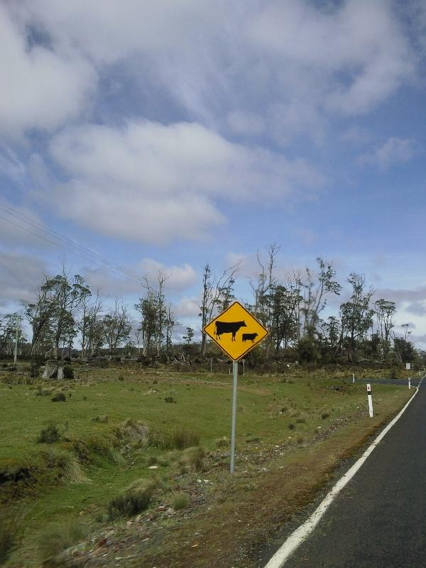 Crossing cows and calfs, Australia
