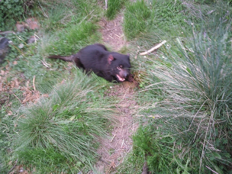 Tasmanian Devil being fed, Australia