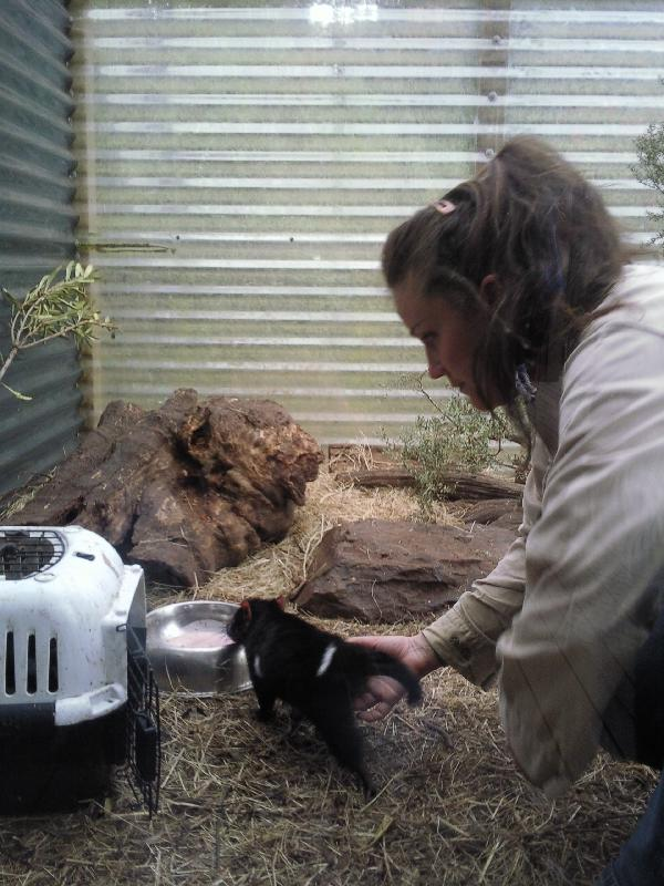 Tasmanian Devil feeding tour, Australia