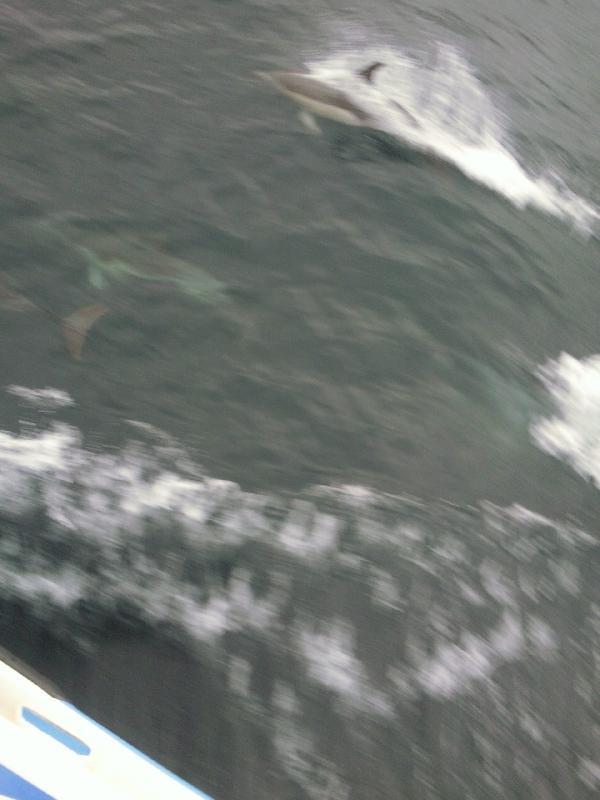 Dolphins on Cat Balou cruise, Eden Australia