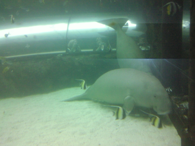 Photo Photos of the Dugongs at the Sydney Aquarium Sydney