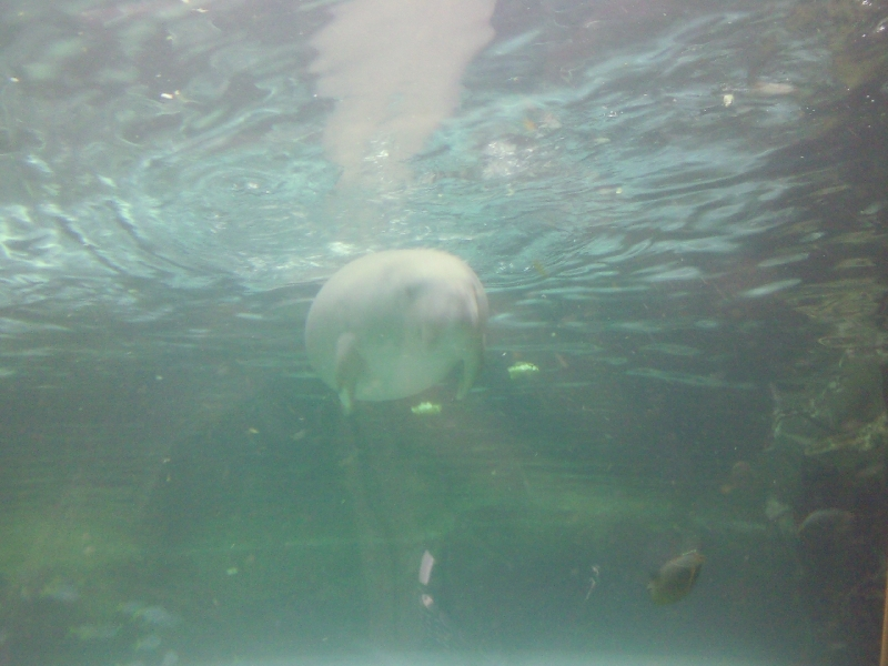 Photo Photos of the Dugongs at the Sydney Aquarium attractions