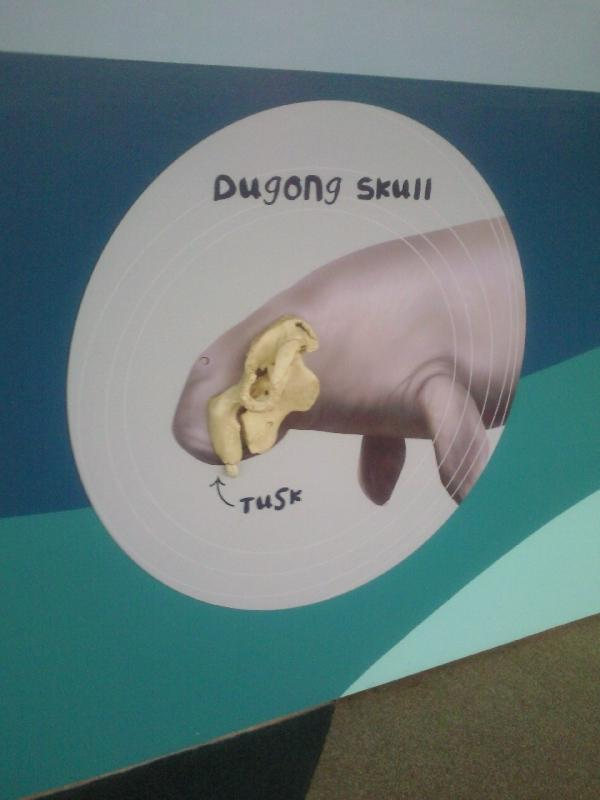 Photo Photos of the Dugongs at the Sydney Aquarium elephants