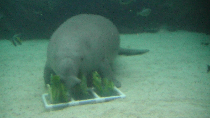 Photo Photos of the Dugongs at the Sydney Aquarium stronger