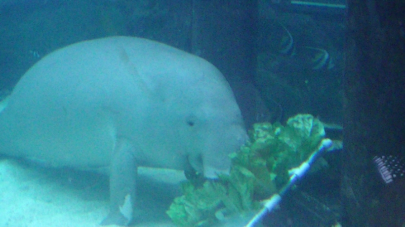 Photo Photos of the Dugongs at the Sydney Aquarium growth