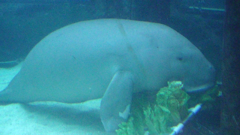 Photo Photos of the Dugongs at the Sydney Aquarium seaweeds
