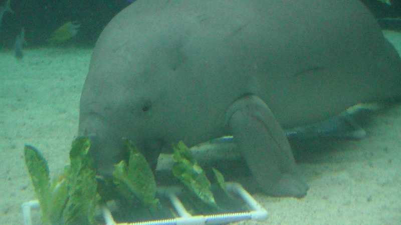 Photo Photos of the Dugongs at the Sydney Aquarium sailing