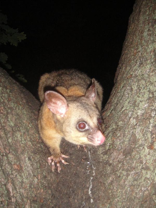 Photo Possums in Hyde Park, Sydney City possums