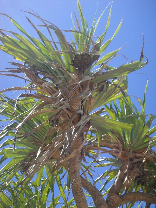 Palms around Eli Creek, Australia