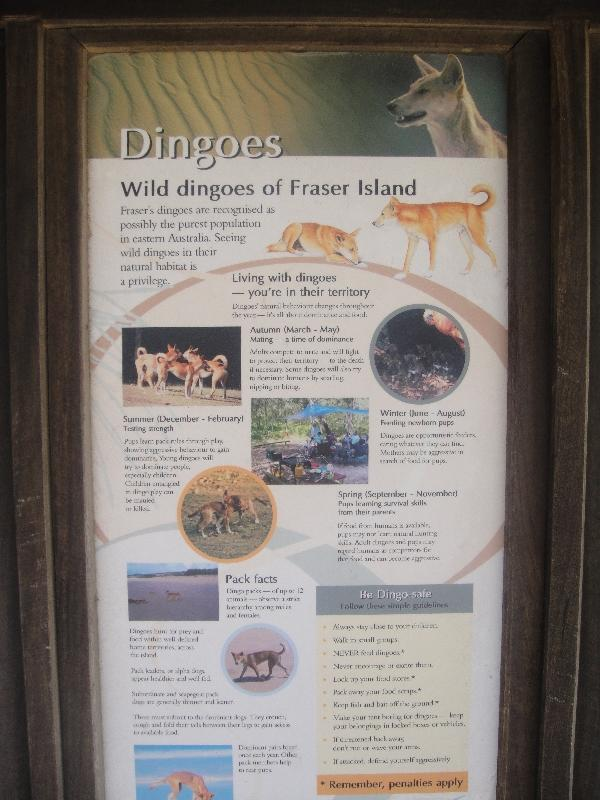 Wild Dingo's at Eli Creek, Hervey Bay Australia