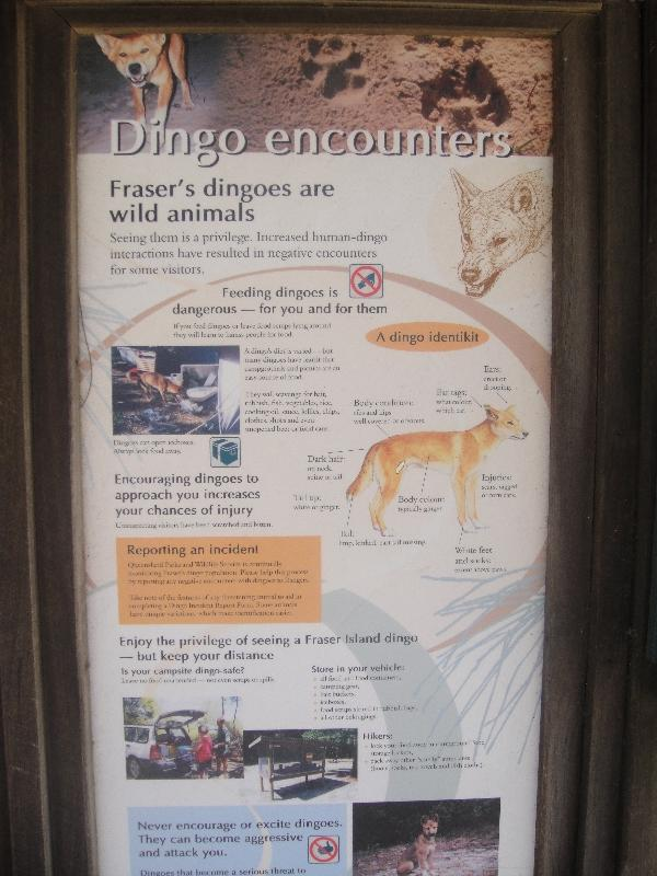 Wild Dingo danger on Fraser Island, Australia