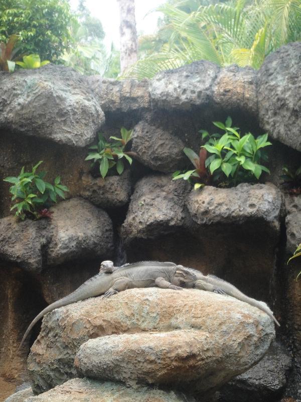 Steve Irwins lazy lizards, Beerwah Australia