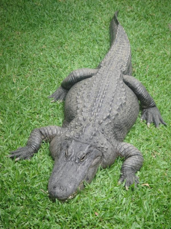 Female Croc at Beerwah zoo, Australia