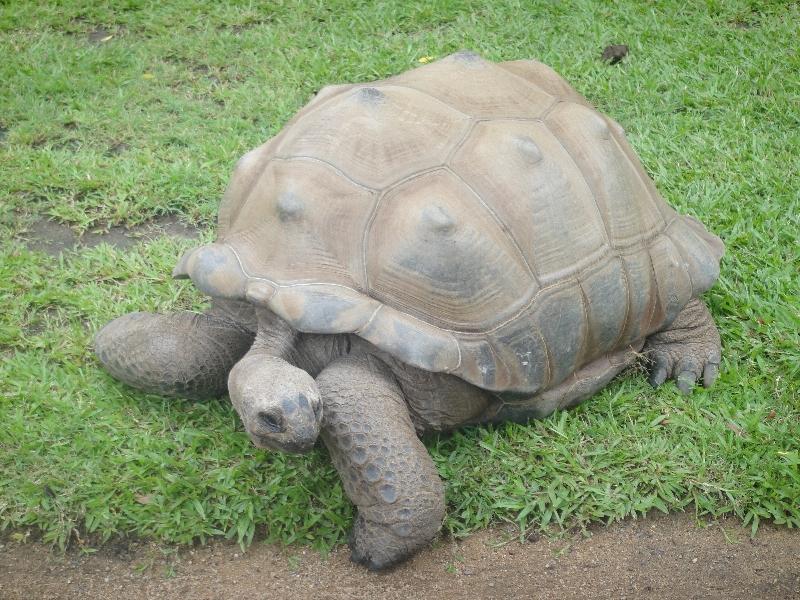 Gallapagos Giant Turle in Australia, Australia