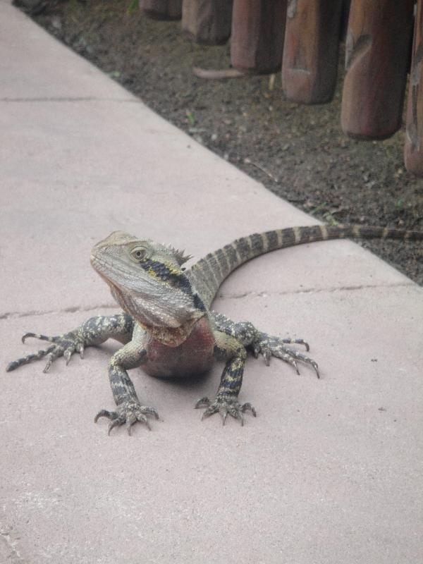 Curious Lizard at the Steve Irwin zoo, Beerwah Australia