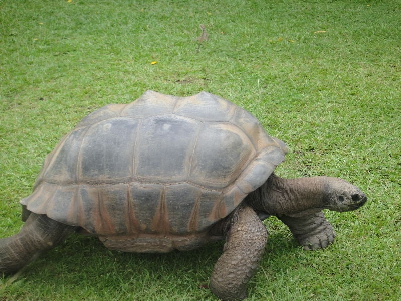 Walking Giant Turtles at the zoo, Beerwah Australia