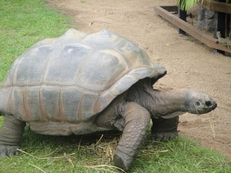 Gallapagos Turle at Australia Zoo, Australia