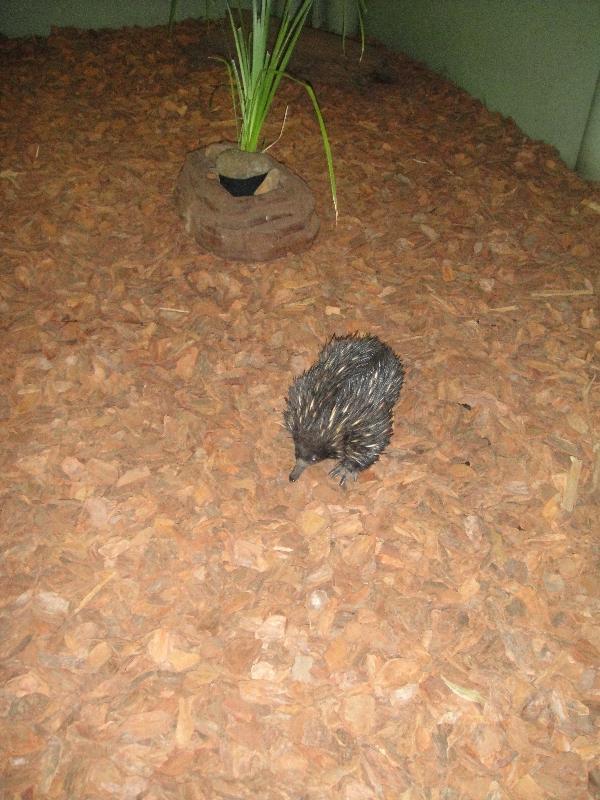 Echidna at Steve Irwin's Australia Zoo, Australia