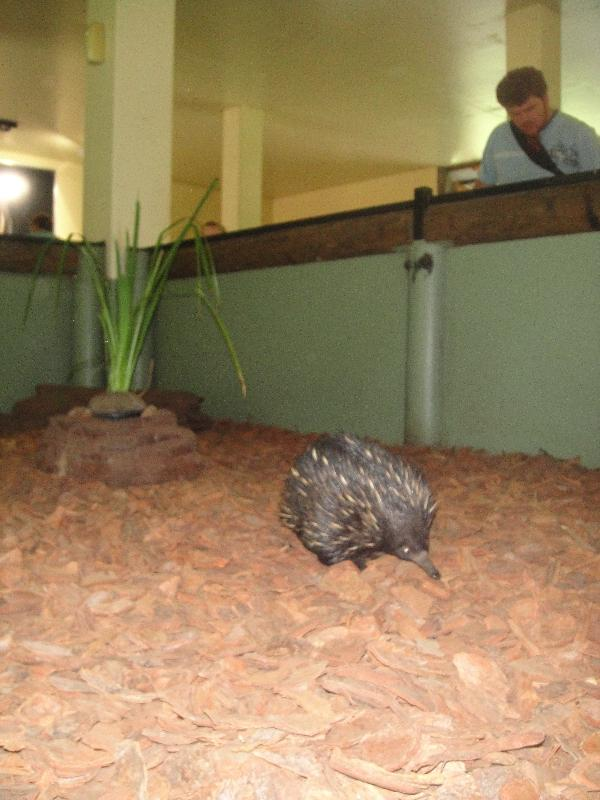 Cute echidna in Beerwah, Queensland, Australia