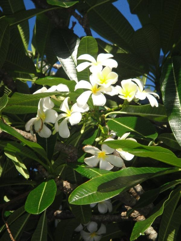 Frangipani flowers in Mackay, Mackay Australia