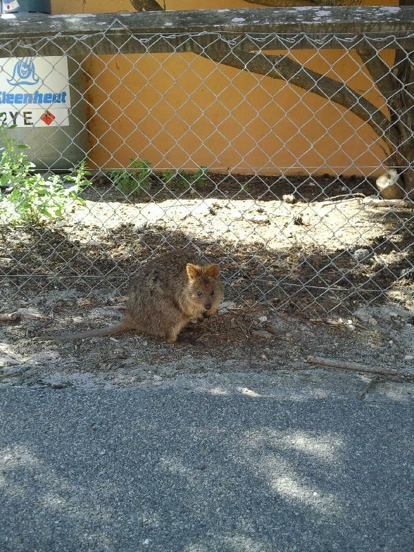 Quokka in Rottnest Island town, Australia