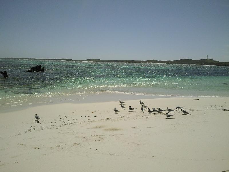 Birds on Rottnest Paradise, Rottnest Island Australia
