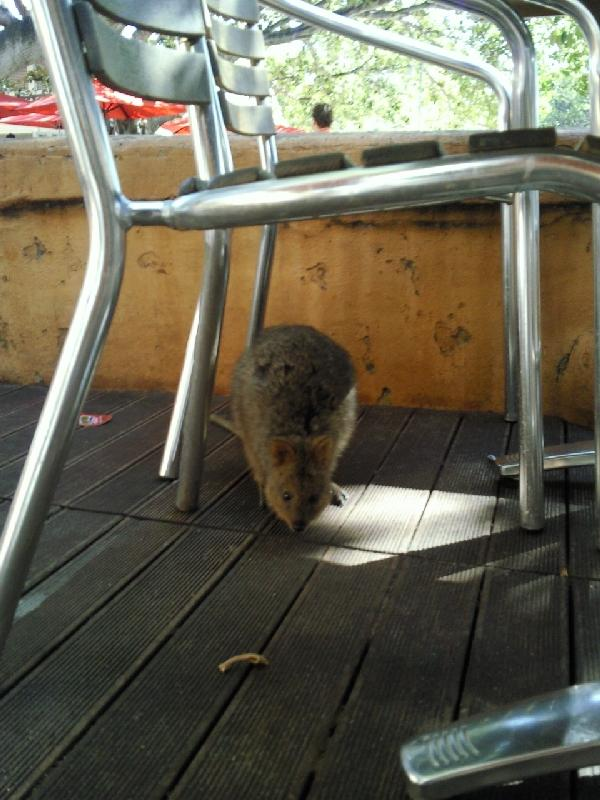 Quokka hiding on Rottnest, Australia