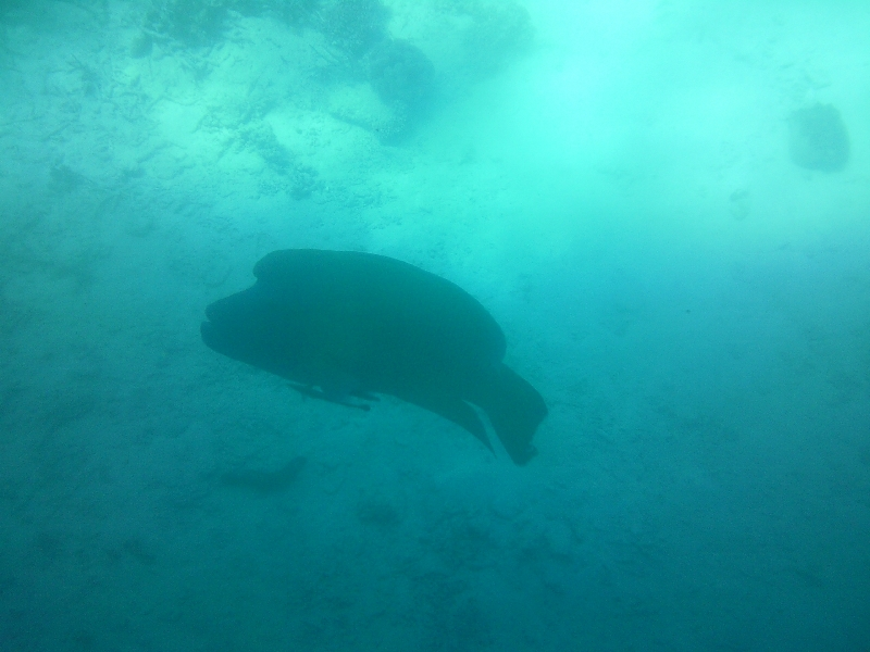 Maori Wrasse at Great Barrier Reef, Cairns Australia