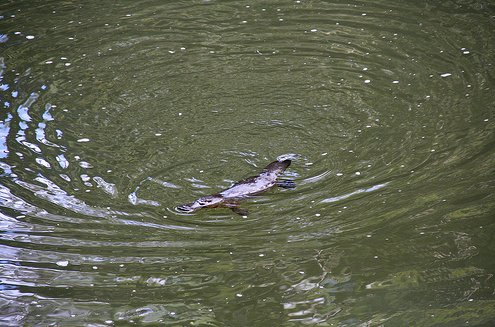 Broken River Australia Platypus spotting at Broken River