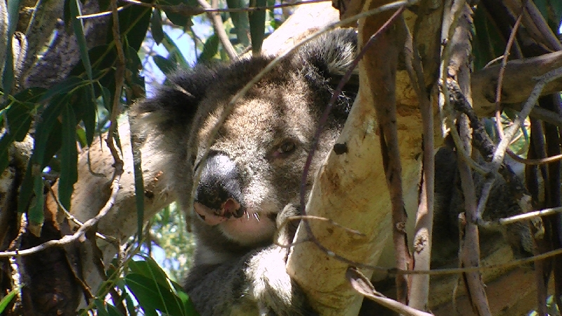 Koala Holding close to Adelaide Cudlee Creek