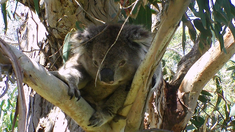 Koala at Gorge Wildlife Park, SA, Cudlee Creek Australia