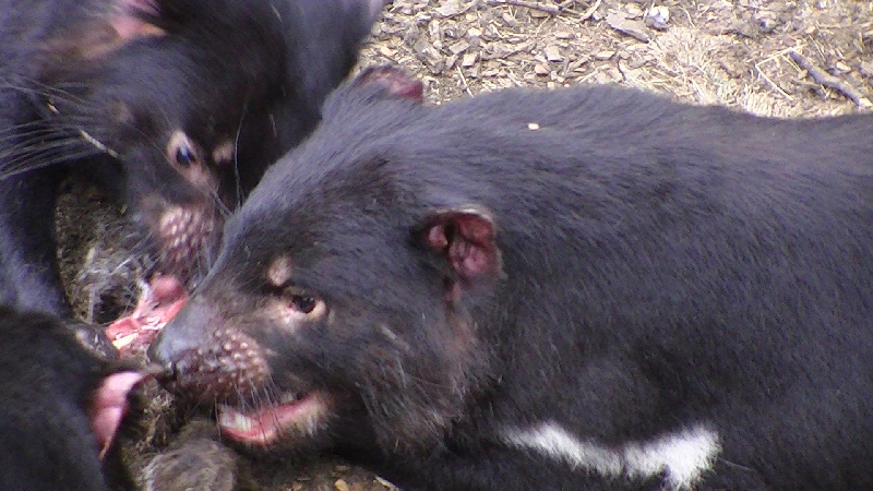 Launceston Australia Tasmanian Devils at Tasmania Zoo in Launceston