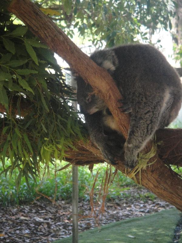 Koala at the Bonorong Wildlife Park, Brighton Australia