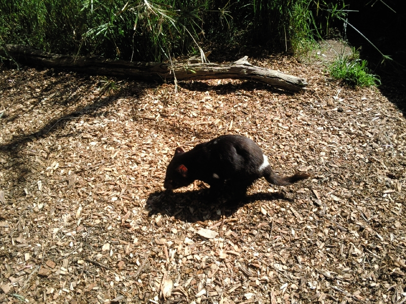 Tasmanian Devil at Bonorong Wildlife Park, Brighton Australia