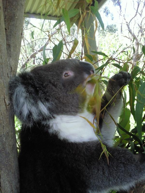 Koala eating eucalyptus in Brighton, Australia