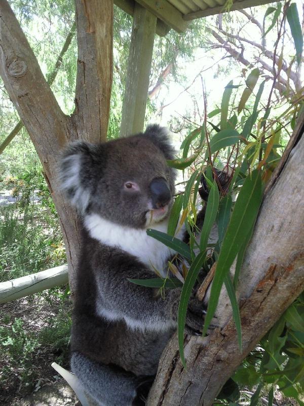 Koala pictures in Brighton, Tasmania, Australia